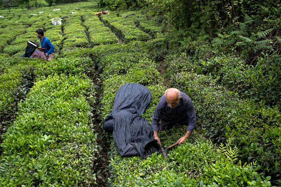 برداشت چای بهاره توسط چایکاران در ارتفاعات قلعه رودخان گیلان