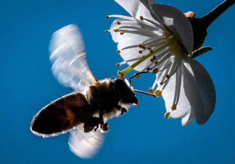 زنبور و شکوفه درخت گیلاس در باغی در حومه شهر مسکو روسیه