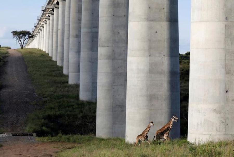 عبور زرافههای پارک ملی کنیا در شهر نایروبی از زیر پل ریل آهن که از محوطه پارک ملی میگذرد