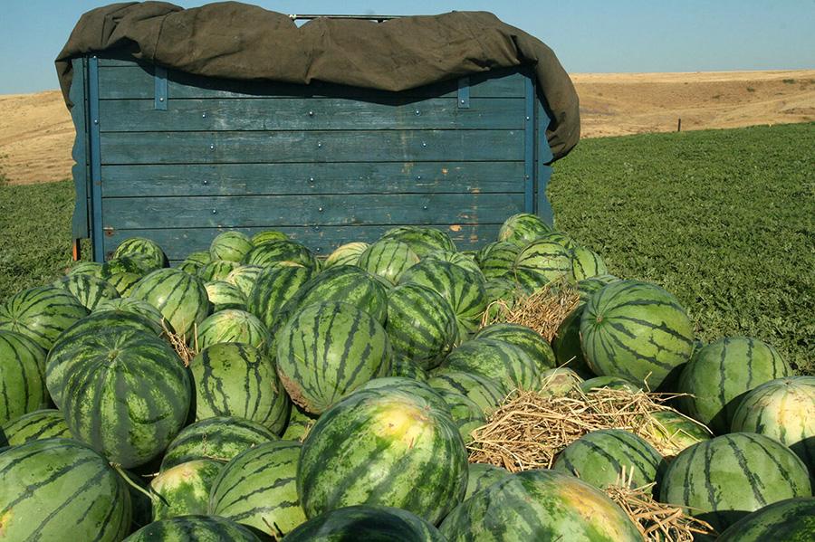 اعلام دلیل برگشت خوردن هندوانه های صادراتی ایران به ترکیه - reason for the return of Iranian watermelons exported to Turkey