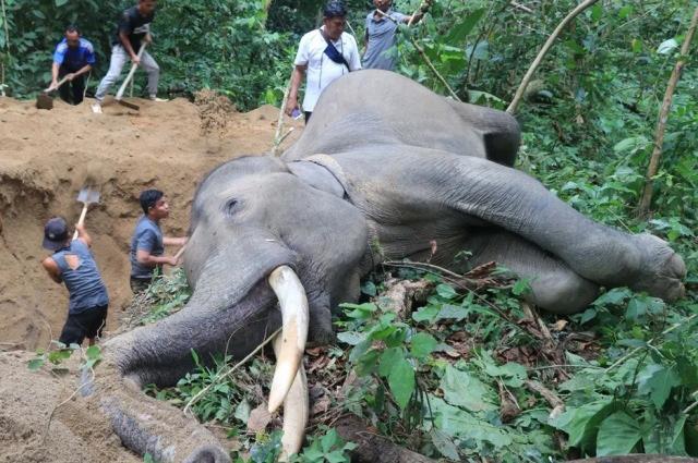 کندن گودالی بزرگ برای دفن کردن یک فیل مُرده در آچه اندونزی