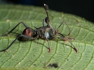 مورچه های زامبی در دنیای واقعی