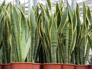 گیاه سانسوریا ؛ یا گیاه زبان مادرشوهر ؛ این گیاه را چقدر میشناسید؟