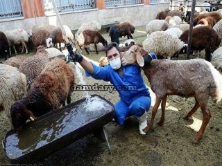 گوسفند زنده، دام و حیوانات به قیمت روز و بدون واسطه بخرید